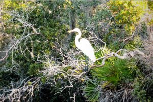 A white heron at Adagio in 30A