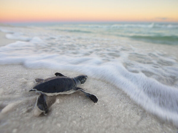 Sea Turtle Safety on 30A